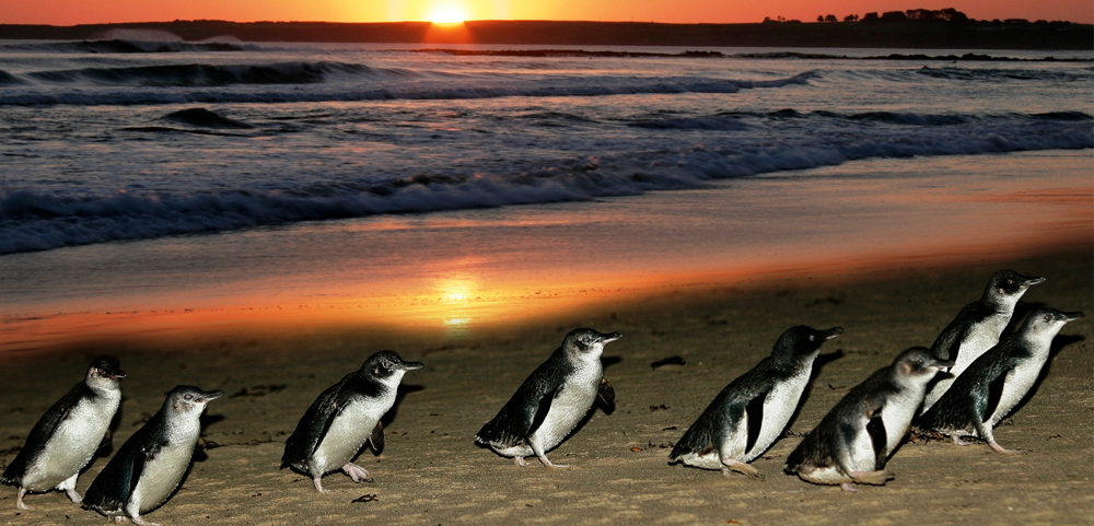 Phillip Island; Penguin Parade